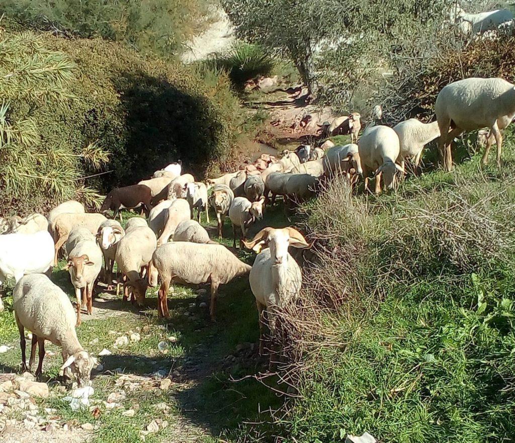 Local Goats